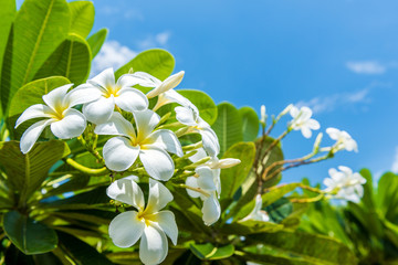 Photo sur Plexiglas Frangipanni White plumeria with blue sky background