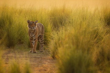Tiger in a beautiful golden light in Ranthambhore National Park in India, panthera tigris, royal bengal tiger, indian wildlife, tigress, female, name t-83 lightning