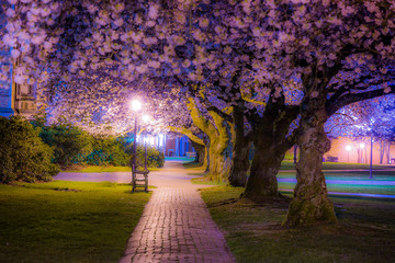 Beautiful pink trees. Cherry blossom, University of Washington, WA, USA.