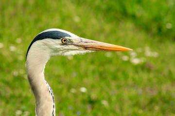 closeup of grey heron landscape