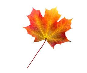 autumn maple leaf isolated on white background