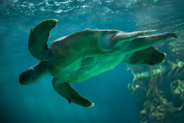 Loggerhead sea turtle (Caretta caretta).