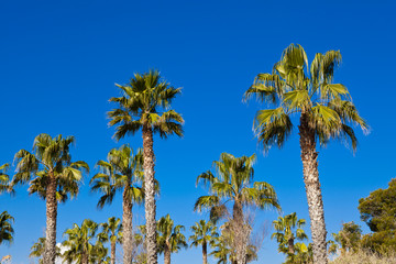 palms with blue sky