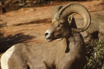 Desert Bighorn Sheep Adult Male Ram near Zion National Park, Utah