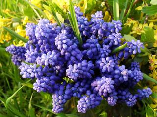 """Весенний букет на траве, макро. Цветы смородины и Мускари или иначе """"Мышинного гиацинта"""", """"Гадючего лука""""."""