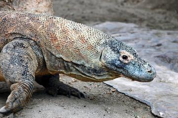 Komodo dragon; close up