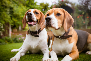 pair of beagles laying down on grass
