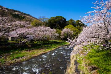 Japanese spring with Sakura and river