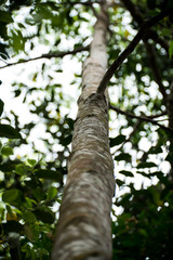 Agarwood tree in the forest