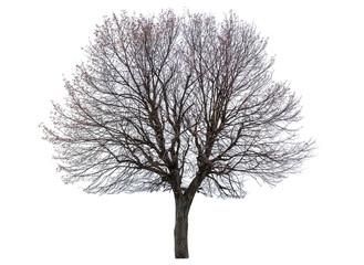 bare linden tree