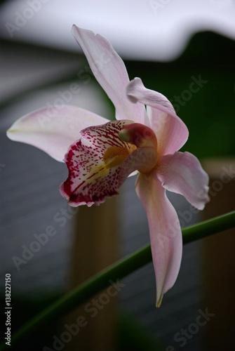 orchid e rose p le c ur tigr photo libre de droits sur la banque d 39 images. Black Bedroom Furniture Sets. Home Design Ideas