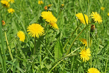 Yellow dandelions grow in a green grass.