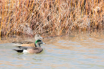 American wigeons (male and female) at Bosque del Apache National Wildlife Refuge in central New Mexico