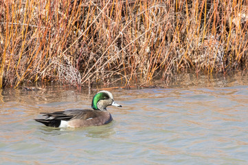 American wigeon (male) at Bosque del Apache National Wildlife Refuge in central New Mexico