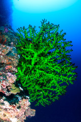 Vivid green soft coral on a tropical reef wall in deep water