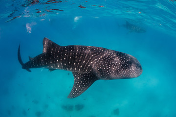 A pair of Whale Sharks near the surface