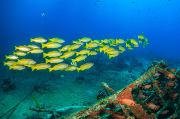 Shoal of yellow snapper and squirrelfish underwater