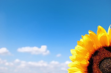 Ripe sunflower on a background of the cloudy blue sky
