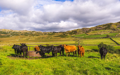 Cows in Lake District