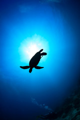 Foto auf AluDibond Tauchen Silhouette of a Sea Turtle with sunburst behind and SCUBA diver