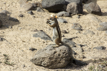 barbary ground squirrel - typical of fuerteventura