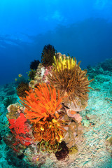 Colorful Crinoids and coral on a tropical reef