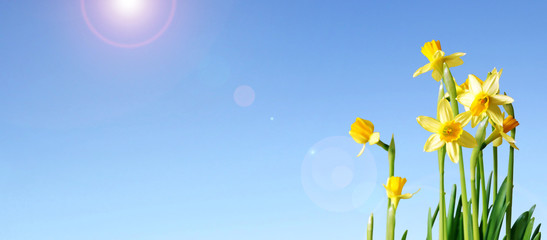 daffodils and blue sky banner with copy space
