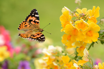 Schmetterling 264