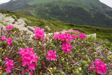 spring pink rhododendrons flower in mountain