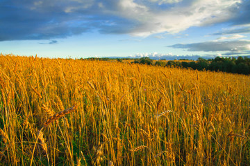Great rural field with ripe ears of rye at sunset