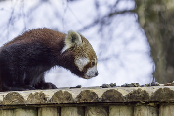 Fototapete - Red panda. Animal sniffing the air for scent.