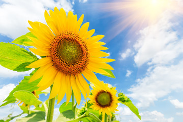 Sunflower flowers bloom in the summer