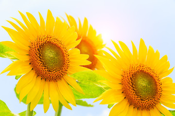 Sunflower flowers bloom in the summer