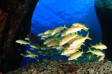 Yellow goatfish fish blue ocean