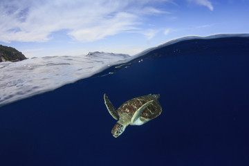 Sea Turtle. Green Turtle comes up to surface to breathe
