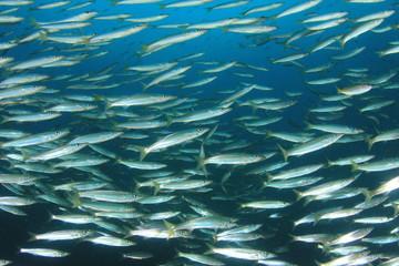 Fish school in ocean. Barracuda fish