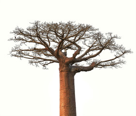 In de dag Baobab Isolated Boaobab tree from Madagascar finance business concept