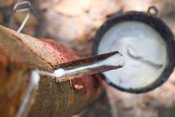 Milky latex extracted from tapped rubber tree (Hevea Brasiliensis) as a source of natural rubber