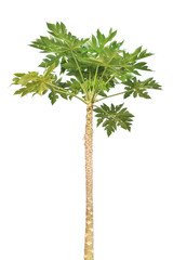 papaya tree on white background