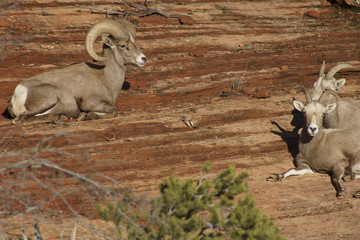 Desert Bighorn Adult Male Ram and Sheep near Zion National Park, Utah U.S.A.