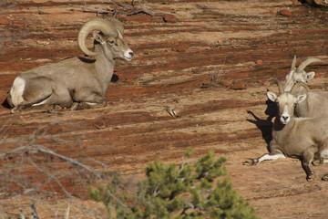 Desert Bighorn Adult Male Ram and Sheep near Zion National Park, Utah U.S.A.