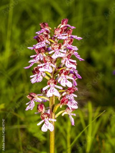 orchidee osterreich