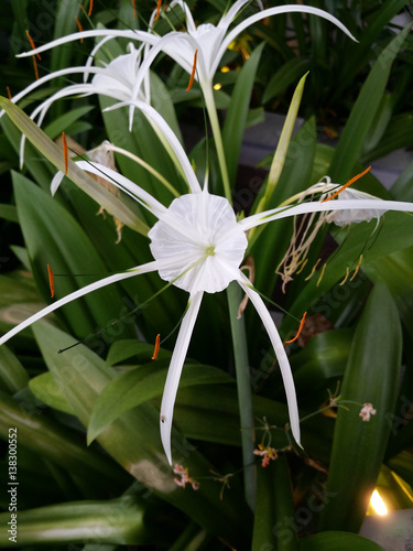 White Spider Flower Stock Photo And Royalty Free Images On Fotolia