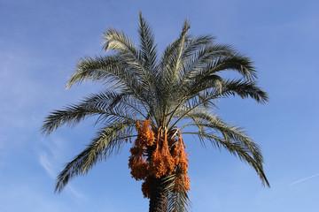 Финиковая пальма с плодами