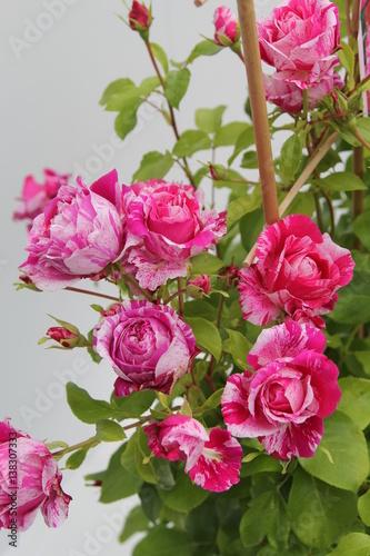 bunte rose stockfotos und lizenzfreie bilder auf bild 138307333. Black Bedroom Furniture Sets. Home Design Ideas