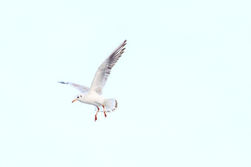 White seagull in the sky against a background of clouds. Sea bird.