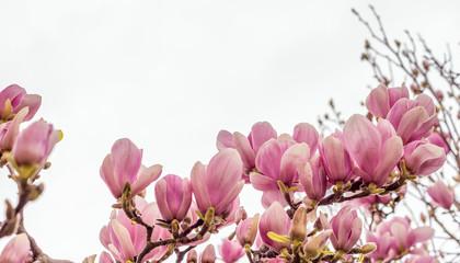Magnolia flowers in spring season