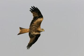 Adlult of Red kite fying. Milvus milvus.