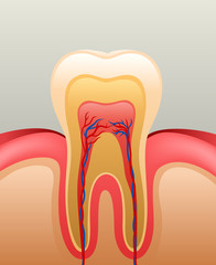 Healthy white tooth, gums and bone, detailed anatomy. vector  illustration
