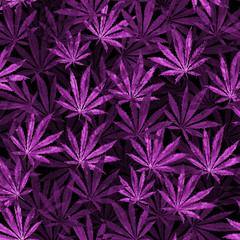 Purple Cannabis leaves on black background